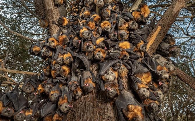 Australie : l'adieu aux renards volants