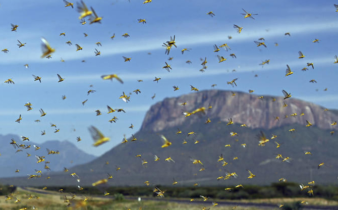 East Africa: the locust plague