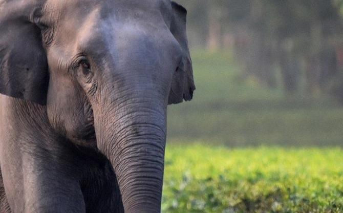 Quand les plantations de thé menacent les éléphants d'Asie