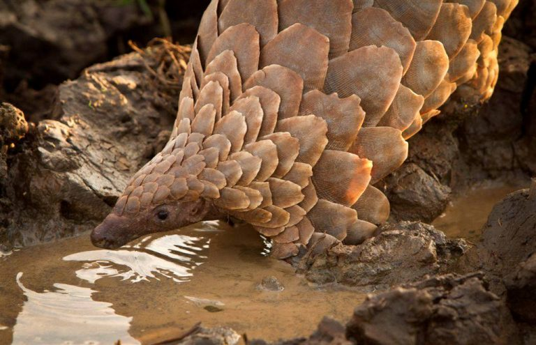 The pangolin is the most poached animal in the world. In 2016, 10 tons of pangolin scales seized worldwide were linked to Nigeria. In 2019, this number has reached 52 tons. Photo credit to Tikki Hywood Trust