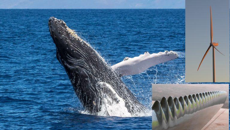 Les pales des éoliennes sont améliorées à l'aide de dentelures, similaires à celles émaillant les nageoires des baleines à bosse. Photos : Eric Ellingson et seblinux78 Flickr CC