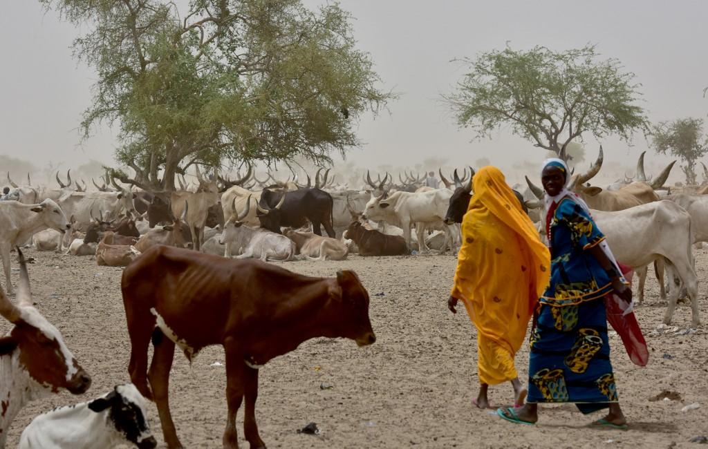 Troupeau de zébus rassemblés autour d'un point d'eau dans la région de Diffa, au sud-est du Niger (le 16 juin 2016, Photo par ISSOUF SANOGO / AFP)