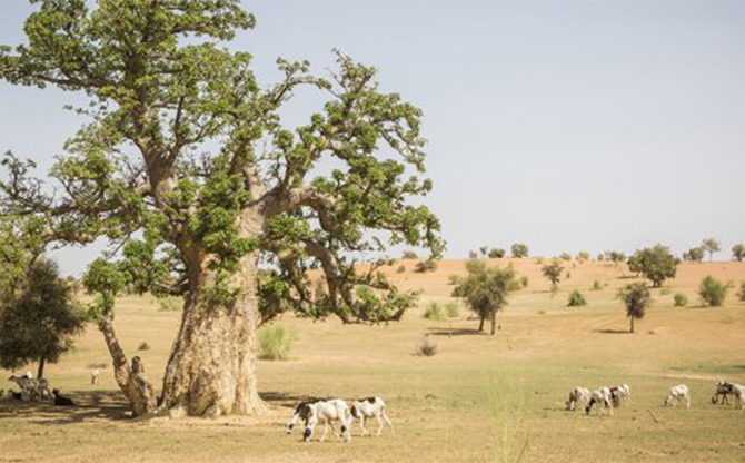 Reverdir le Sahel, un projet essentiel