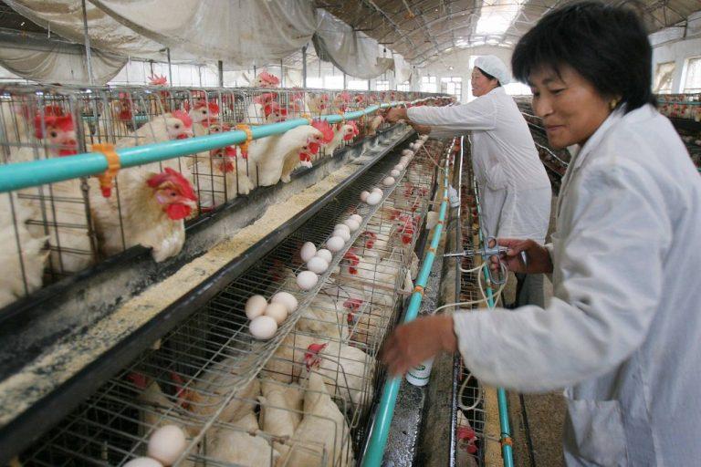Séance de désinfection dans un élevage de volailles à Haian, dans la province du Jiangsu (est de la Chine), en 2005, suite au déclenchement d'une nouvelle épidémie de grippe aviaire. (Photo STR / AFP)