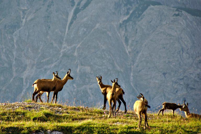 En Suisse, l'effectif de chamois des Alpes est passé de 10 000 en 1910 à 90 000 aujourd'hui. Ici, un troupeau dans le Tyrol (Autriche), en août 2014. Photo Zoltán Vörös (Photo : Zoltán Vörös Flickr Cc)