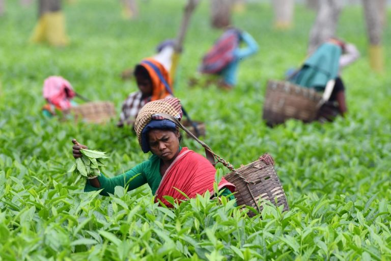 Plantation workers pick leaves in a tea garden in Gohpur, northeastern Assam, India. (Photo by Biju BORO / AFP)