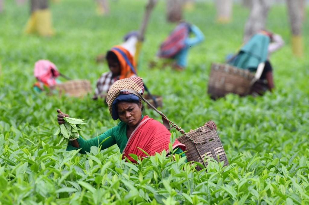 Des travailleuses de plantations cueillent des feuilles dans un jardin de thé à Gohpur, dans le nord-est de l'État de l'Assam, en Inde. (Photo par Biju BORO / AFP)