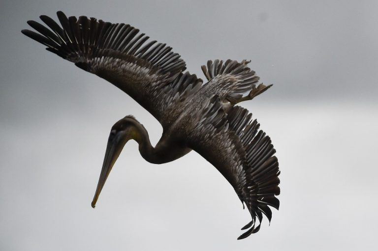 The intertropical zone suffers from a clear lack of data on many species. Here, a pelican flies over Pacific waters near Buenaventura, Colombia, in September 2020. (Photo: Luis ROBAYO / AFP)