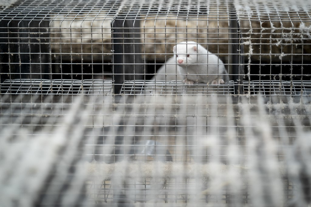 - A mink in a farm near Naestved in Denmark on November 2020 after a mutated version of the new coronavirus was found. Photo © Mads Claus Rasmussen / Ritzau Scanpix / AFP