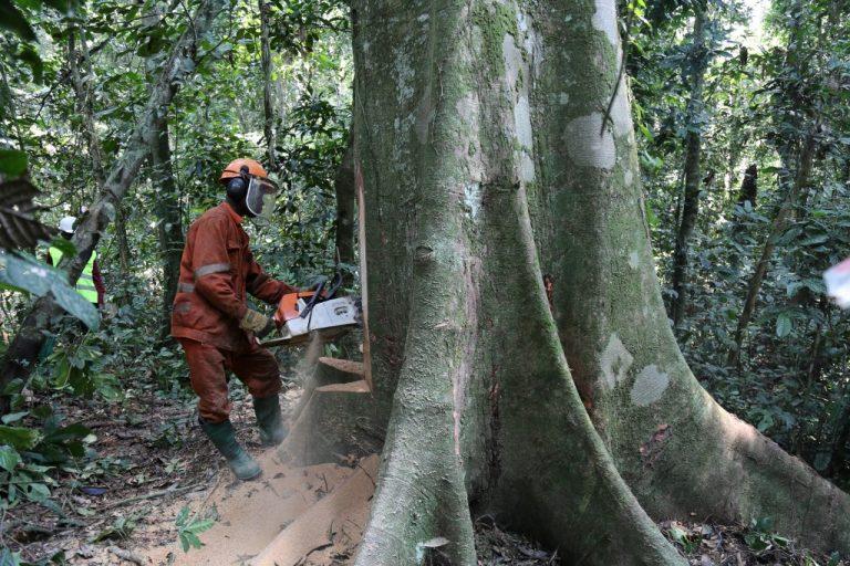 Un ouvrier coupe un arbre pour une entreprise industrielle près de Kisangani, dans le nord-est de la République démocratique du Congo, le 24 septembre 2019 (Crédit: Samir Tounsi / AFP)